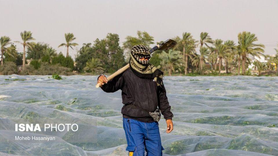 برداشت گوجه فرنگی در بوشهر