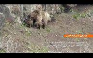 تصاویر دیده شدن خرس ماده به همراه سه توله در کوه البرز